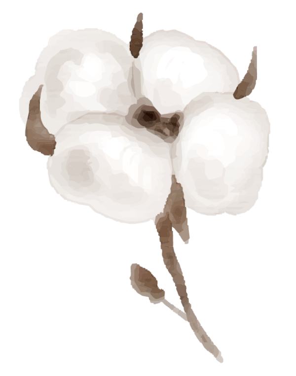 illustration d'une fleur de coton